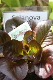 Salanova  rood, sla plant