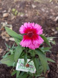 Anjer, dianthus, eetbare bloem