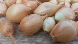 Biologische gele plantui Sturon 250gram