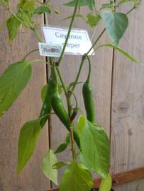 Peperplant, Cayenne Peper