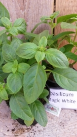 Basilicum Magic White
