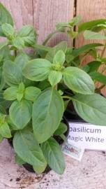 Basilicum Magic White