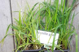 Vanille gras