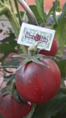 Zwarte tomaat, black russian