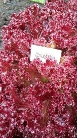 Lolla Rossa sla plant
