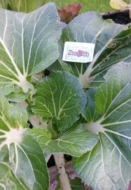Paksoi plant