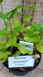 Japanse aardappel, Crosne