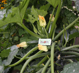 Courgette plant groen