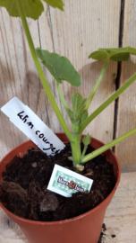 Klim courgette plant