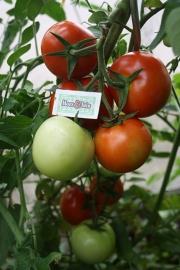 Gewone tomaat, ronde tomaat