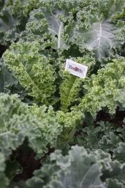 Boerenkool plant