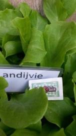 Andijvie plant