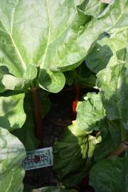 Rabarber plant in pot