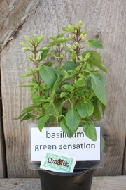 Basilicum Green Sensation