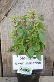 Basilicum Green Sensation