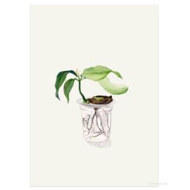 Postkaart - Mangoplant