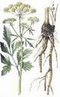 Lavas wortel gemalen |Levisticum officinale