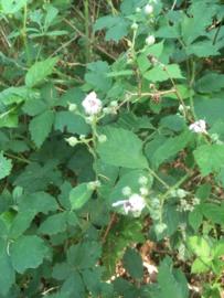 Braam blad |Rubus fruticosus