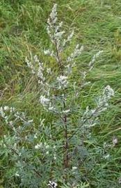Bijvoet | Artemisia vulgaris