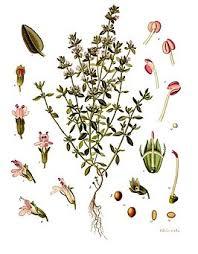 Tijm - Thymus vulgaris