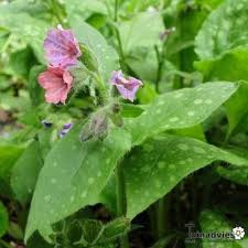 Longkruid | Pulmonaria officinale