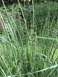 Schaafstro- Equisetum hyemale