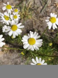 Kamille | Matricaria chamomilla
