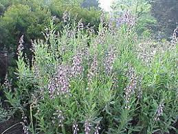 Salie | Salvia officinalis