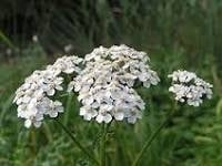 Duizendblad | Achillea millefolium