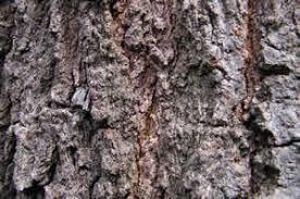 Eikenbast   Quercus cortex