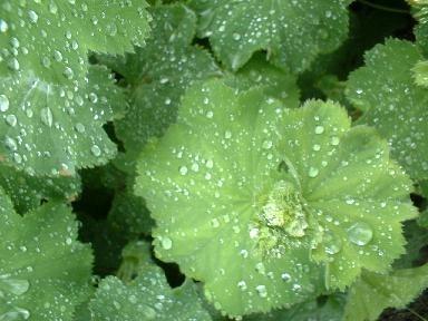 Vrouwenmantel | Alchemilla vulgaris