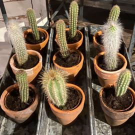 Cactusjes klein
