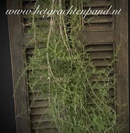 1 Wilde Asparagus tak ong 0,75/1,25 meter (op de foto zijn 5 takken op afgebeeld)