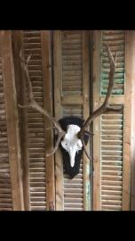 Edelhert schedel en op houten schilt