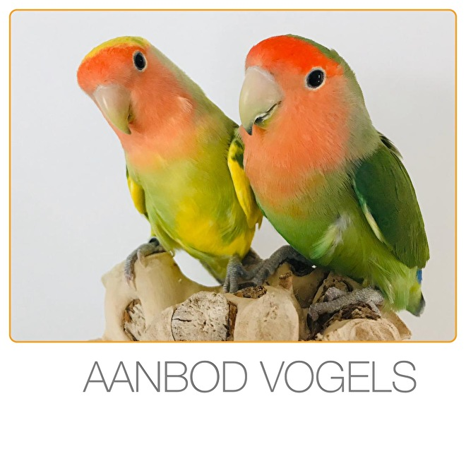 https://www.agapornisvogels.nl/c-5473738/aanbod/