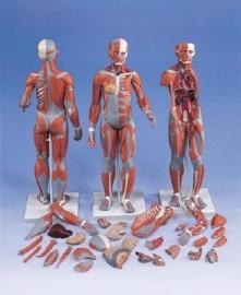 Anatomisch model met uitneembare spieren 21 stuks