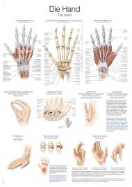 Anatomie van de hand poster (70 x 100) cm
