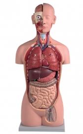 Anatomisch model met uitneembare organen 16 stuks