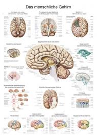 De hersenen poster (70 x 100) cm