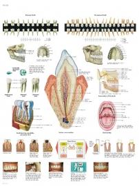 Het gebit poster (50 x 67) cm