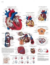 Het hart poster (50 x 67) cm