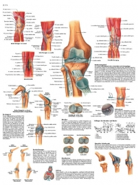 Het kniegewricht poster (50 x 67) cm