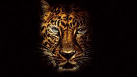 Poster Panterkop , zwarte achtergrond
