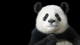Poster Panda, zwarte achtergrond