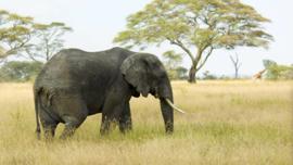 Poster Olifant op Savanne