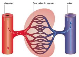 Slagaderen  en zuurstof en het bloed-vatenstelsel