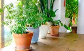 Potplanten verbeteren NIET de luchtkwaliteit binnenshuis