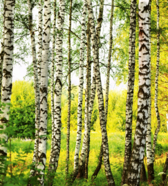 Birch Forest Fotobehang MS-3-0094