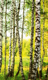 Birch Forest Fotobehang MS-2-0094