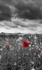 Poppies In Black And White Fotobehang MS-2-0091